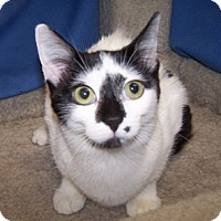 Adopt A Pet :: K-Fielding2-Pebbles - Colorado Springs, CO