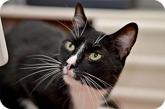Domestic Mediumhair Cat for adoption in Queens, New York - BB