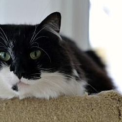 Photo 2 - Domestic Mediumhair Cat for adoption in Chicago, Illinois - Frost