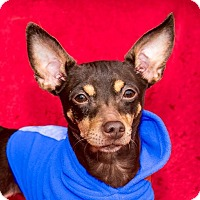Adopt A Pet :: Roxie - San Marcos, CA