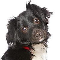 Adopt A Pet :: Muchito - Los Angeles, CA