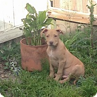 Pit Bull Terrier Mix Puppy for adoption in Lake Charles, Louisiana - Boomer