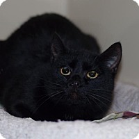 Domestic Shorthair Cat for adoption in New Martinsville, West Virginia - Mimi