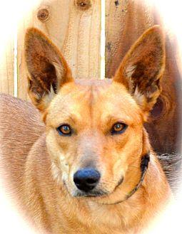 Australian Kelpie Puppy for adoption in Blanchard, Oklahoma - Reba