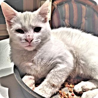 Domestic Shorthair Cat for adoption in Sidney, Maine - Snowflake