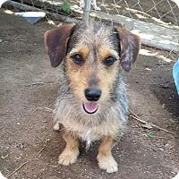 Adopt A Pet :: Harry - Kingsland, TX
