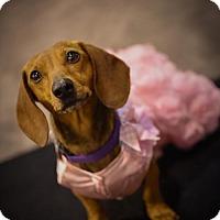 Adopt A Pet :: Rose Sommer - Houston, TX