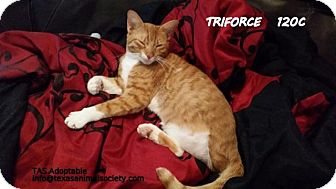 Domestic Shorthair Cat for adoption in Spring, Texas - Bigbee Kitty/Triforce