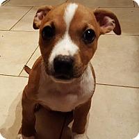 Adopt A Pet :: Snickers - Trenton, NJ