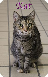 Domestic Shorthair Cat for adoption in Bradenton, Florida - Kat