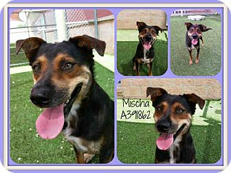 English Shepherd/Hound (Unknown Type) Mix Dog for adoption in San Antonio, Texas - Mischa