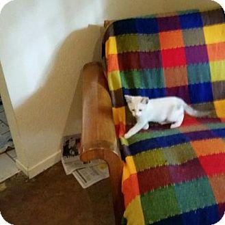Siamese Kitten for adoption in Houston, Texas - Cheyenne