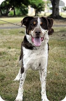 Australian Shepherd Mix Dog for adoption in Woodburn, Oregon - Archie