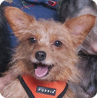 Yorkie, Yorkshire Terrier Mix Dog for adoption in Chicago, Illinois - Traveler