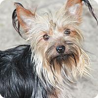 Adopt A Pet :: Gizmo - Conesus, NY