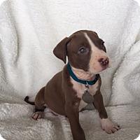 Adopt A Pet :: Artemis - Marietta, GA