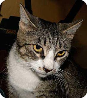 Domestic Shorthair Cat for adoption in Schertz, Texas - Darby