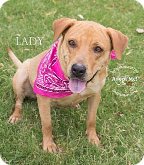Labrador Retriever/Shar Pei Mix Dog for adoption in Gilbert, Arizona - Lady