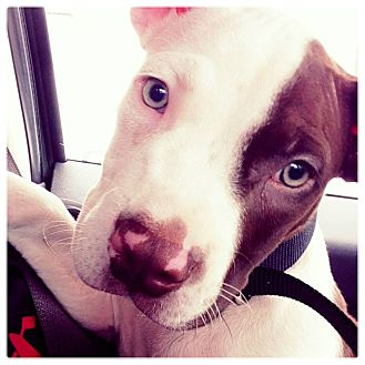 American Pit Bull Terrier Mix Puppy for adoption in Lapeer, Michigan - Marcus
