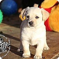 Adopt A Pet :: Jewel - Albany, NY