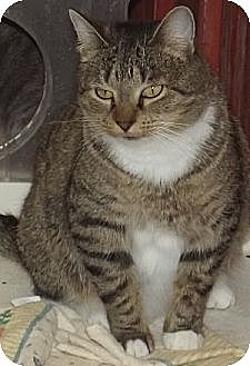 Domestic Shorthair Cat for adoption in Savannah, Missouri - Dory