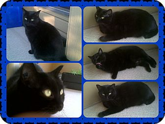 Domestic Shorthair Cat for adoption in Okotoks, Alberta - Midnight