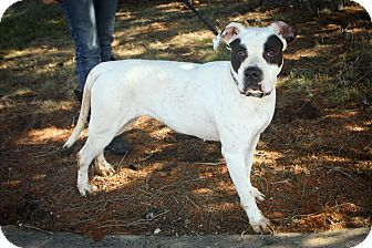 Mastiff/Great Dane Mix Dog for adoption in Anderson, Indiana - Bella