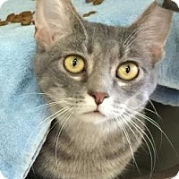 Adopt A Pet :: Preston - Covington, KY