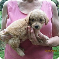 Adopt A Pet :: Ziggy - Lincolndale, NY
