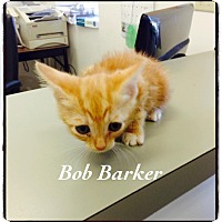 Domestic Shorthair Kitten for adoption in Dillon, South Carolina - Bob Barker