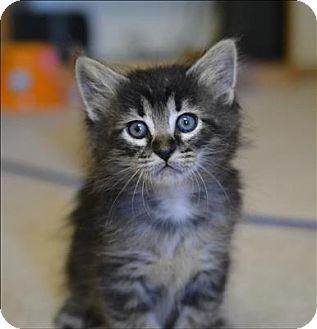 Domestic Shorthair Kitten for adoption in Sherwood, Oregon - Annie K3 Aka Sally