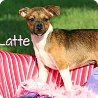 Adopt A Pet :: Latte *Adoption Pending* - Marion, KY