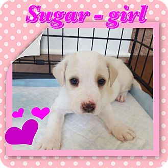 Boxer Mix Puppy for adoption in siler city, North Carolina - Sugar