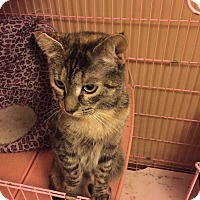 Domestic Shorthair Cat for adoption in Clay, New York - Bailey