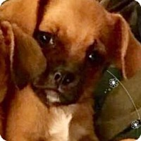Pug/Chihuahua Mix Puppy for adoption in Longview, Texas - Gabe