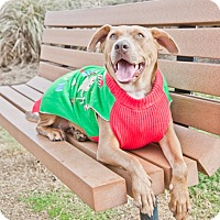 Adopt A Pet :: Amber - Houston, TX
