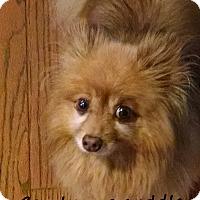 Pomeranian Dog for adoption in Franklinton, North Carolina - Bart Adoption pending
