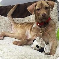 Adopt A Pet :: Shay - Oswego, IL