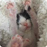 Adopt A Pet :: Izzie - Frankfort, IL