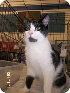 Domestic Shorthair Cat for adoption in Riverside, Rhode Island - Gavin