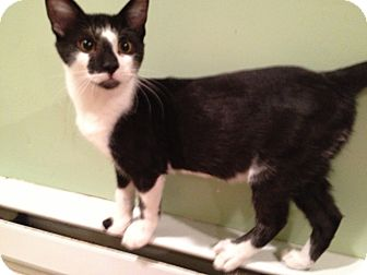 Domestic Shorthair Kitten for adoption in East Hanover, New Jersey - Bovine