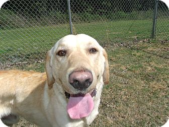 Labrador Retriever Mix Dog for adoption in Gadsden, Alabama - Jed