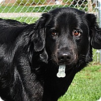 Adopt A Pet :: Ozzie - Cheshire, CT