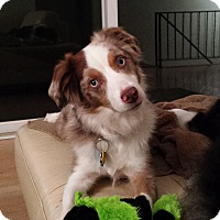 Adopt A Pet :: Izzy - Elk River, MN