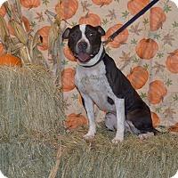 Adopt A Pet :: Scottie - Lima, OH