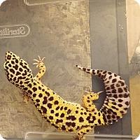 Adopt A Pet :: Number Nine, a leopard Gecko - Bristow, VA