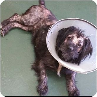 Shih Tzu/Dachshund Mix Dog for adoption in Shreveport, Louisiana - Tiana