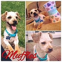 Adopt A Pet :: Muffles - Marlton, NJ