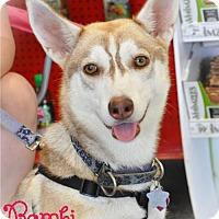Adopt A Pet :: Bambi - Carrollton, TX