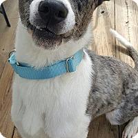 Catahoula Leopard Dog/Australian Cattle Dog Mix Dog for adoption in Glen Burnie, Maryland - Dakota 2